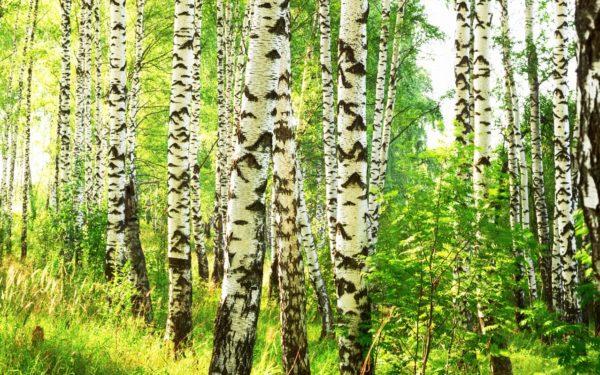 Birkenwald als Symbol für die Arbeit als Osteopath in Karlsruhe